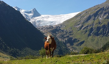 The cows spend the whole summer in the lush alpine pastures in the mountains in East Tyrol
